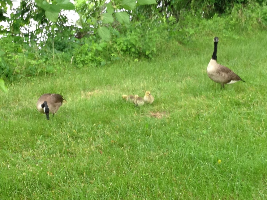 Geese and Goslings