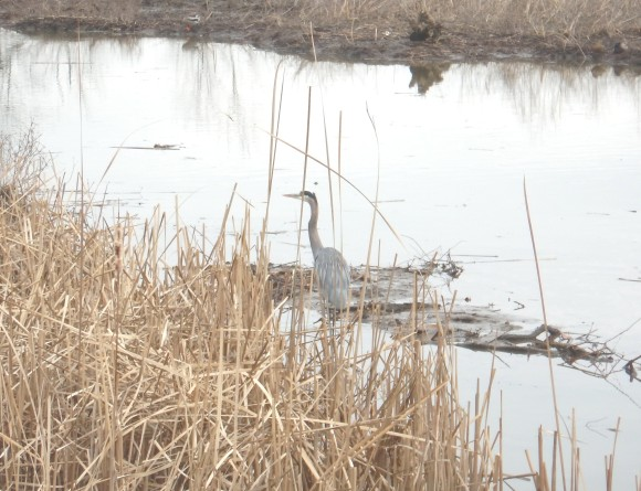 Heron at Dyke Marsh 2.jpg