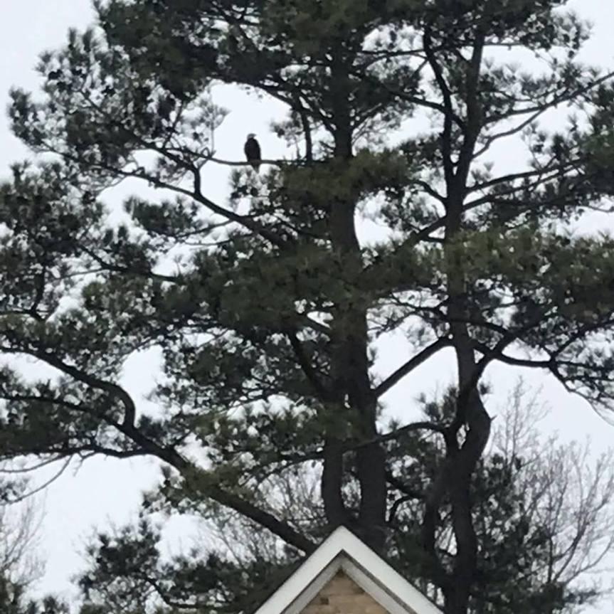 Eagle backyard